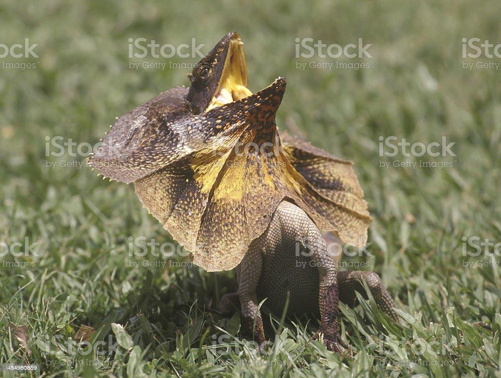 frill necked lizard royalty-free stock photo