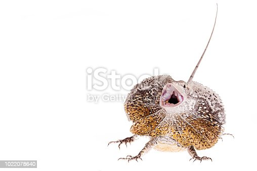 Frilled Neck Lizard isolated white background