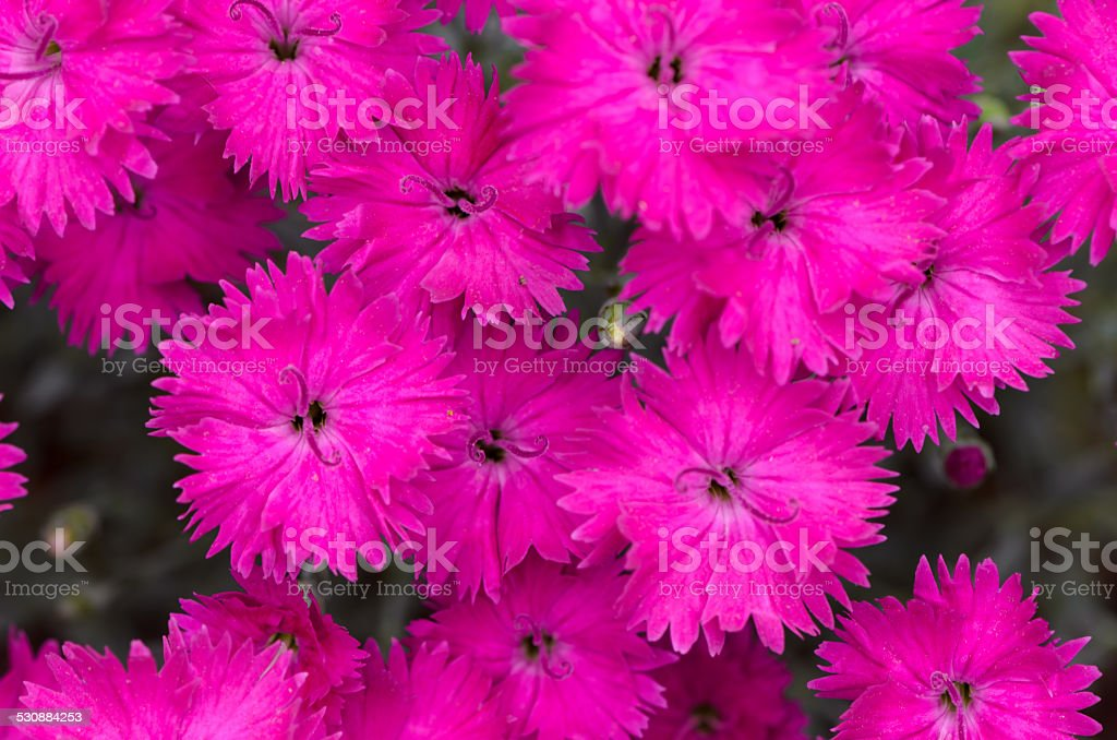 Frilled pink Dianthus flower stock photo