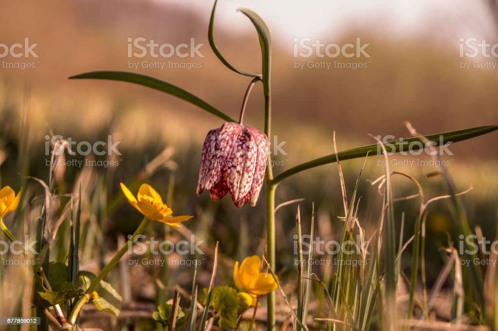 Frillitaria meleagris royalty-free stock photo