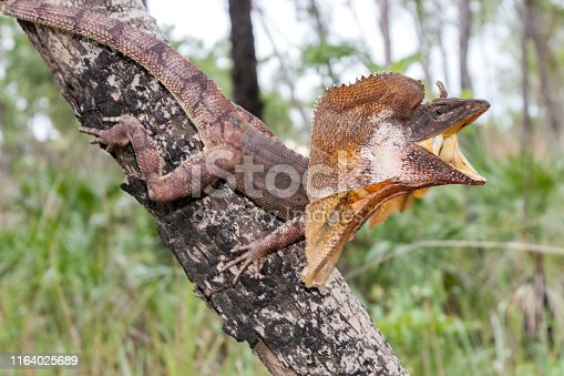 Frill-necked lizard of Northern Australia