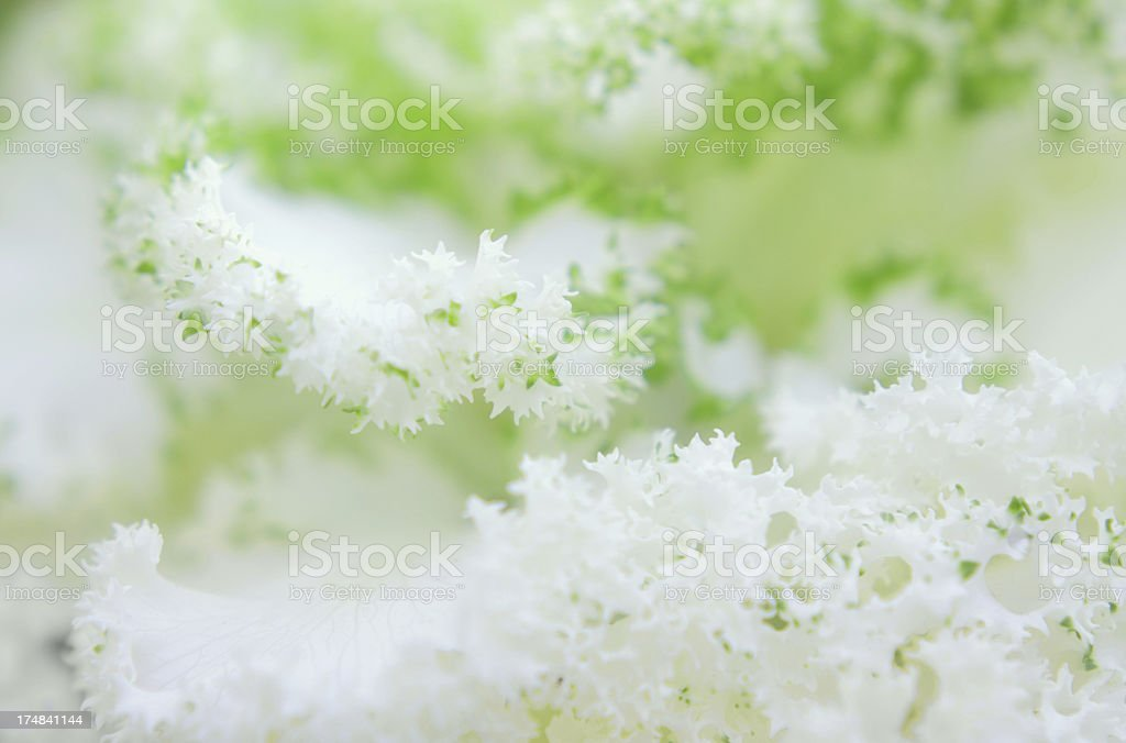 Frilly Ornamental Cabbage royalty-free stock photo