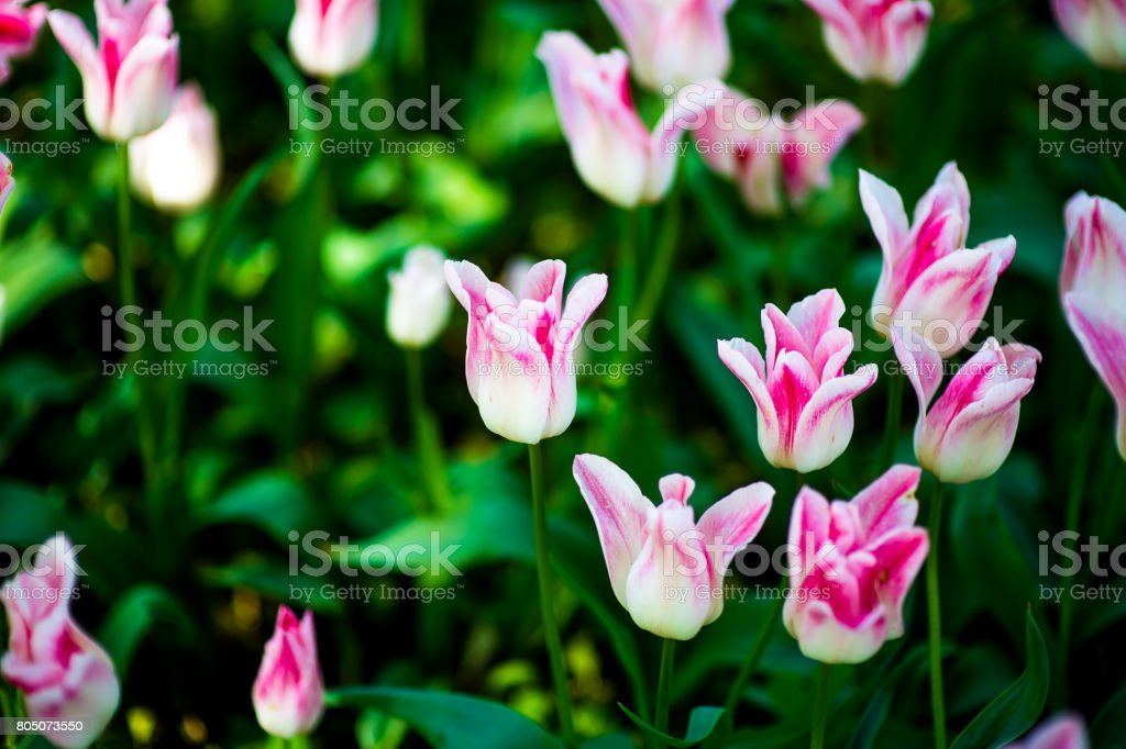 Fringed tulip Queensland. Terry fringed pink tulip. Pink tulip fringed with white ragged edges stock photo
