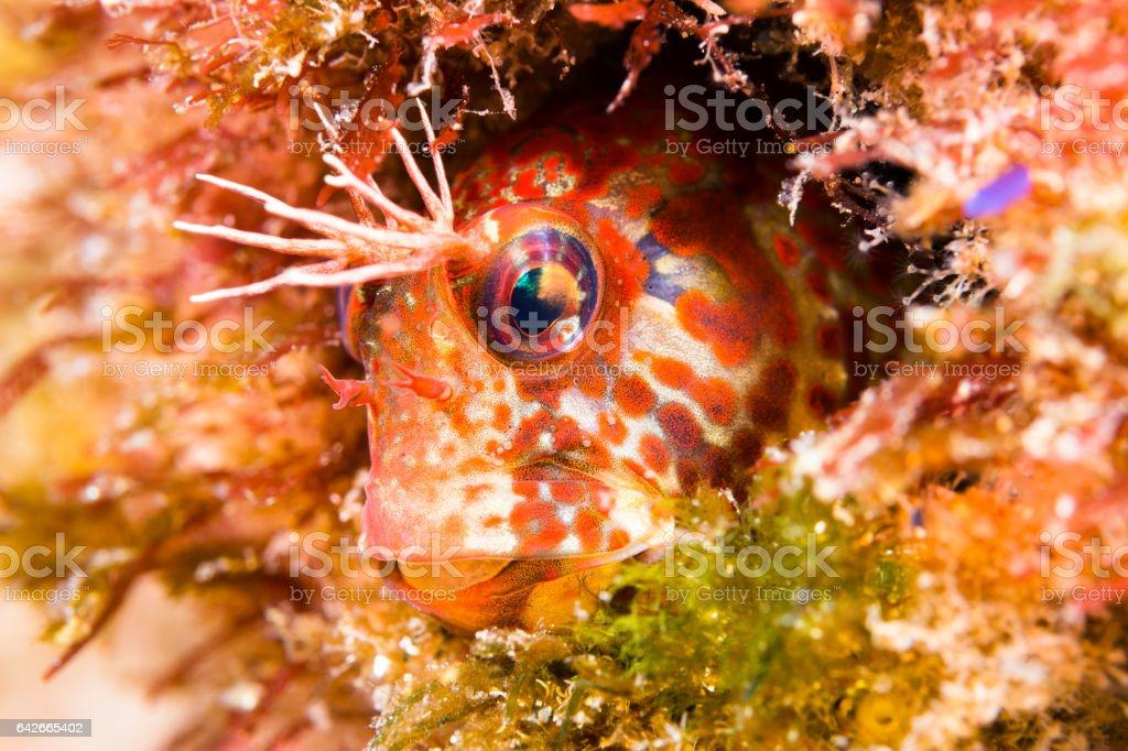 Fringehead Blenny Fish stock photo