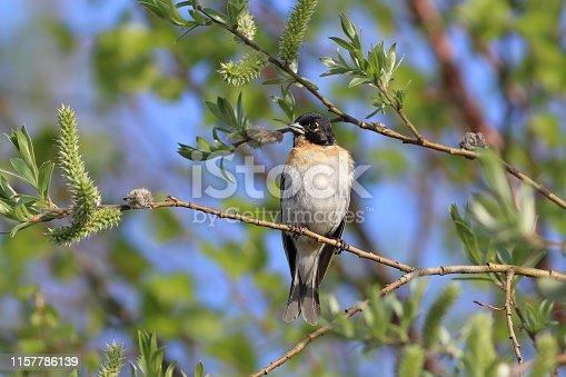 Fringilla montifringilla. Male Brambling in the spring sitting on a branch in Siberia