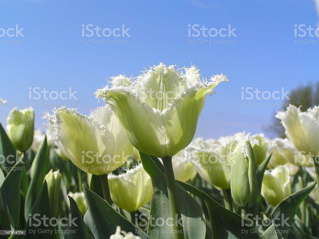 fringy tulip