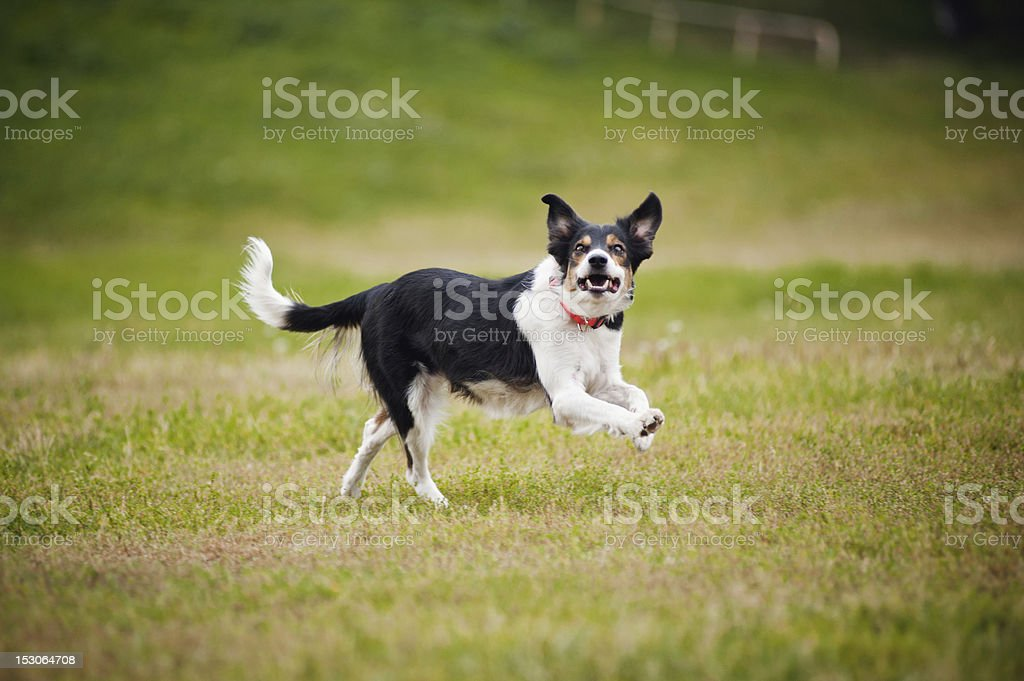Frisbee dog border collie catching royalty-free stock photo