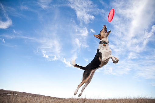 A dog jumping to catch a frisbee.
