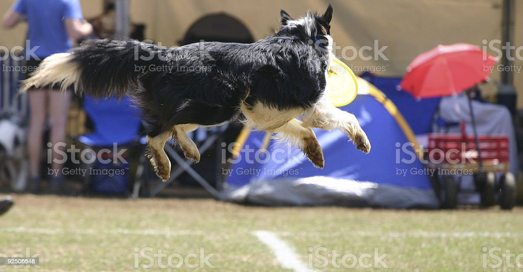 Frisbee Dog royalty-free stock photo
