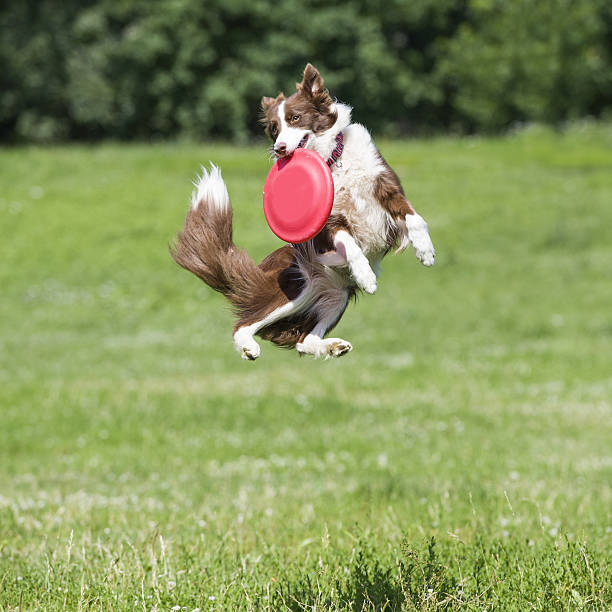 Frisbee dog with disk stock photo