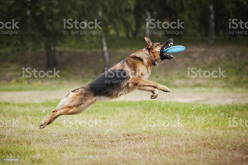 Frisbee sheepdog catching disc royalty-free stock photo