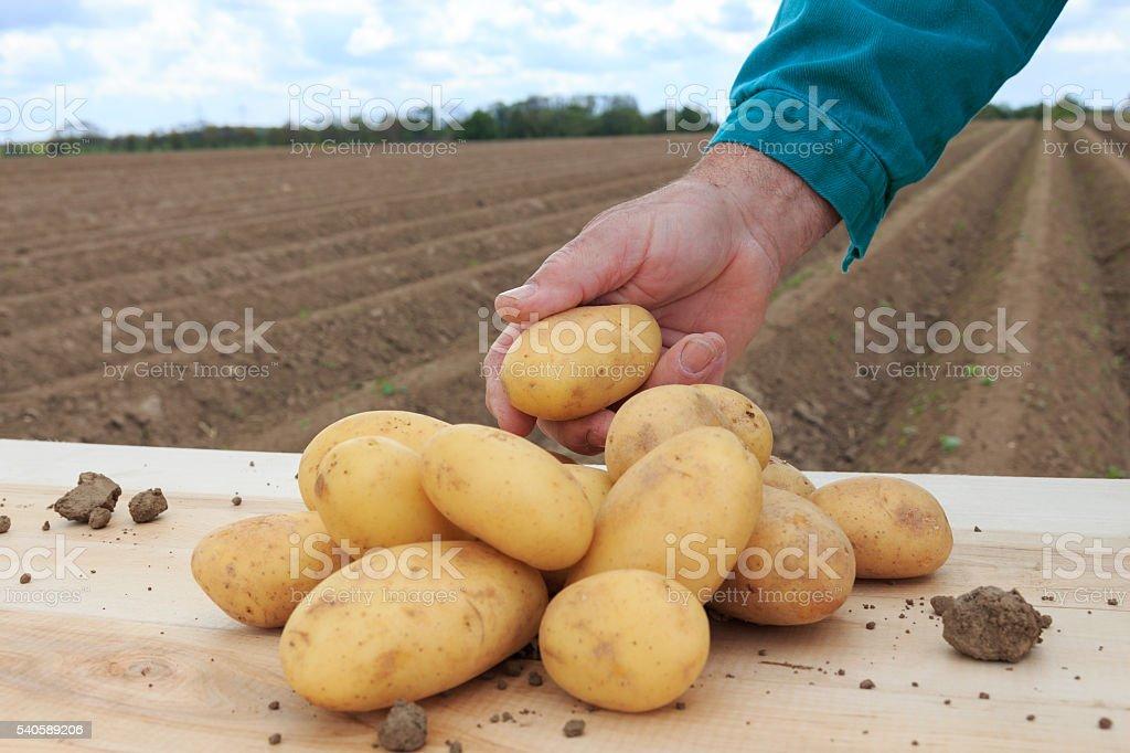 frische Kartoffeln stock photo