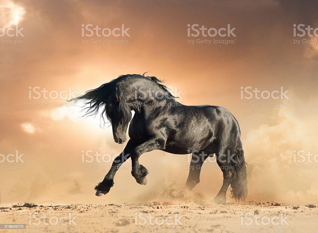 frisian stallion in the wild stock photo
