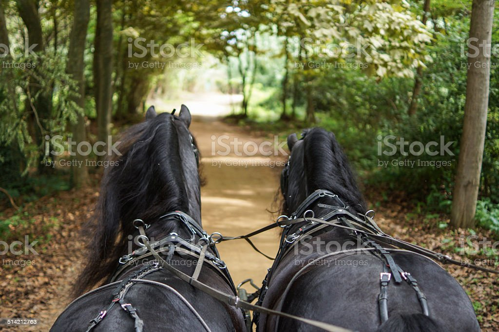 Frisians with carriage stock photo