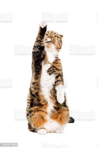 Frisky a cat scottish fold picture id1010221024?b=1&k=6&m=1010221024&s=612x612&h=p69rnfagx4w9w4hpstuxq3mtmq5ogdnyd6fqkrc oyi=