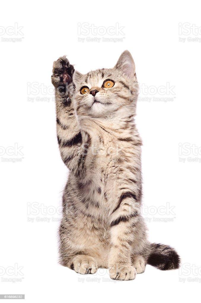 Frisky kitten Scottish Straight stock photo