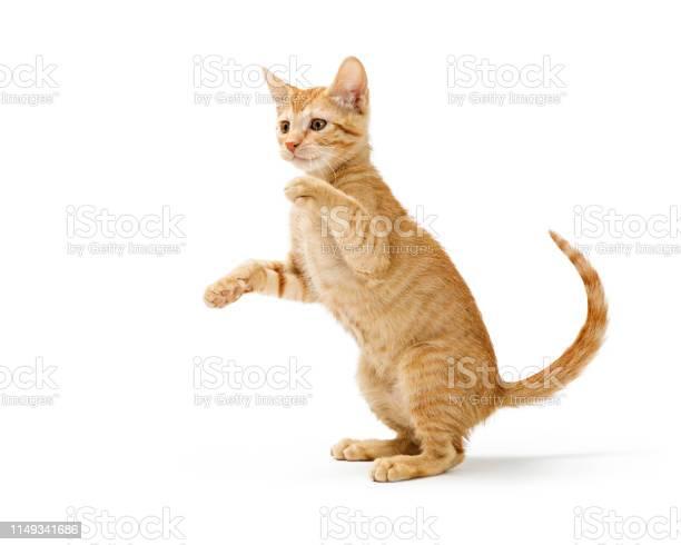 Frisky orange kitten standing side playing picture id1149341686?b=1&k=6&m=1149341686&s=612x612&h=ayglocwakw7pmqaw1xzc5ugmdaqzbz4asurwi 2tub0=