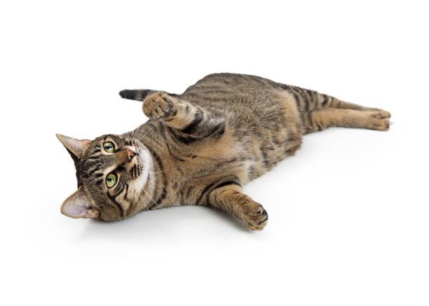 Frisky Tabby Cat Lying on Side Playing stock photo