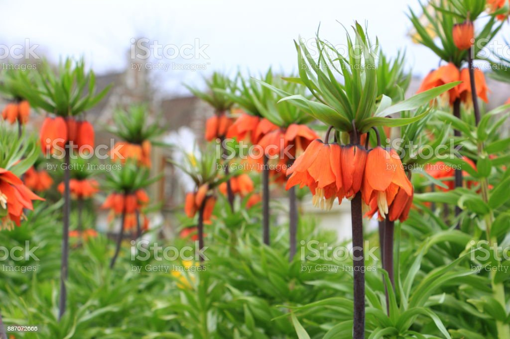 fritillaria imperialis, Crown imperial stock photo