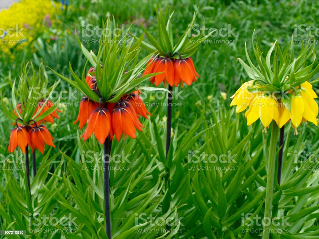 Fritillaria Imperialis Or Crown Imperial Red And Yellow Flowers With