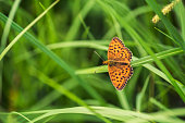 Fritillary Butterfly captured in Murnauer Moos, Germany