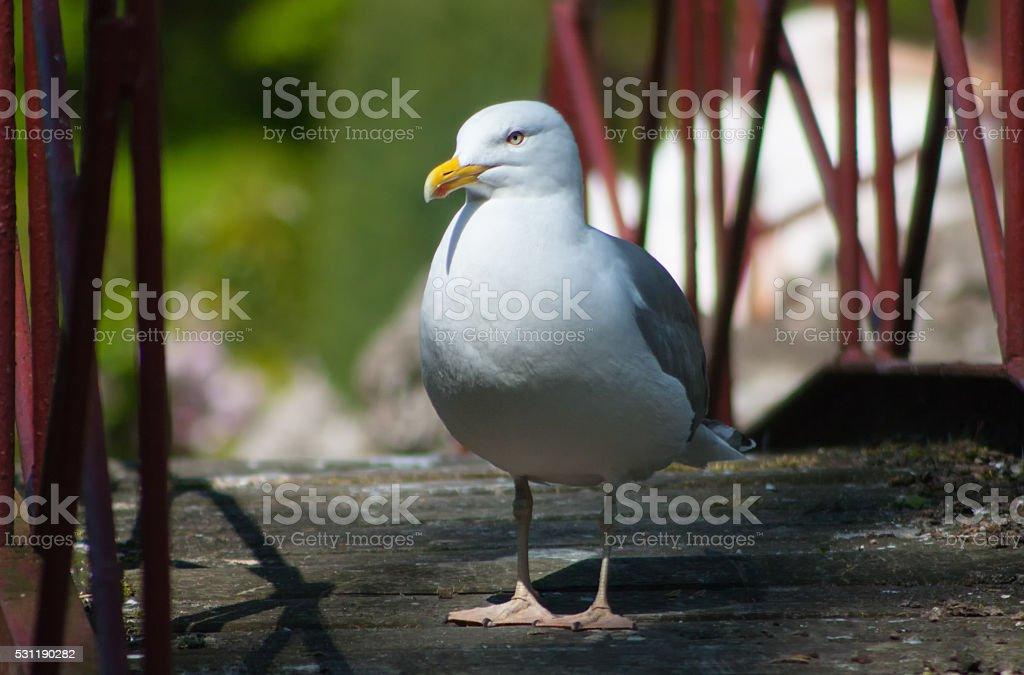 Frivolous Gull (Larus cachinnans) stock photo