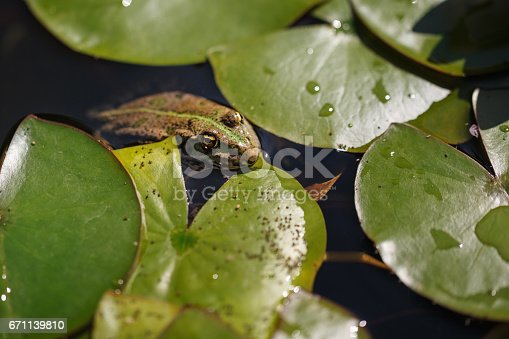 The frog hides in the pond among the water lilies. Close-up. wild nature