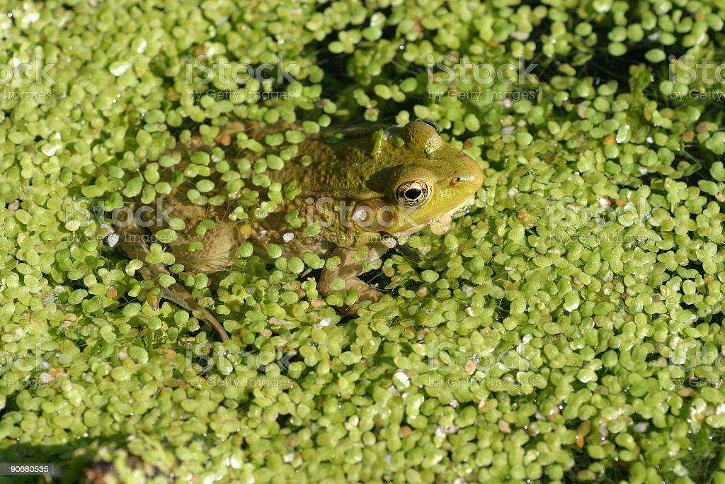 Frog and Duckweed royalty-free stock photo