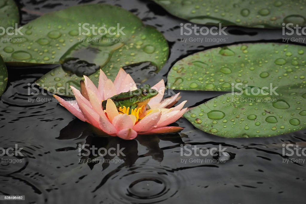 Frog and flower in raining day stock photo