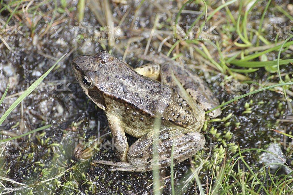 Frog at Alpine Mountain Meadow Schwarzmoos, Kühtai, Austria royalty-free stock photo
