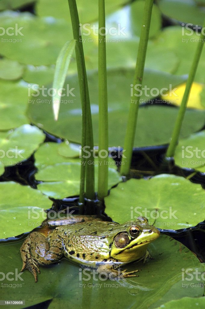 Frog at Rest royalty-free stock photo