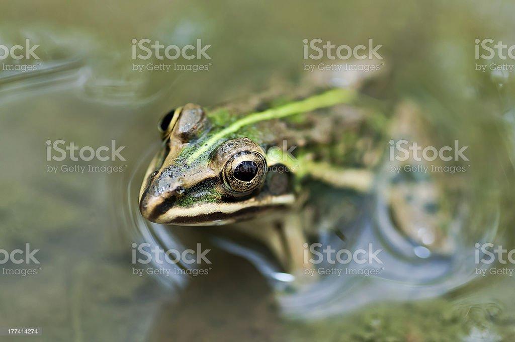 Frog, Bullfrog, waiting mud puddle partly submerged with green algae stock photo