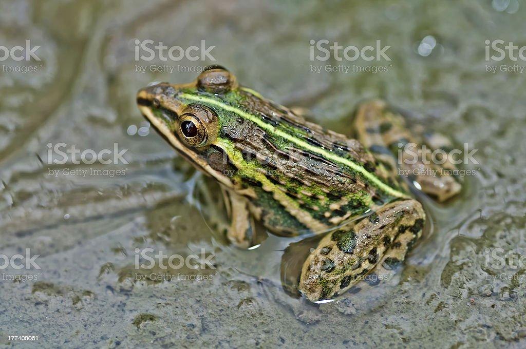Frog, Bullfrog, waiting mud puddle submerged green algae, stock photo