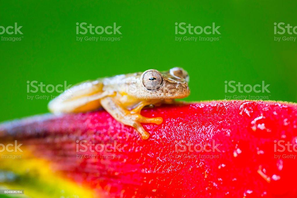Frog climbing on flower, Costa Rica animal