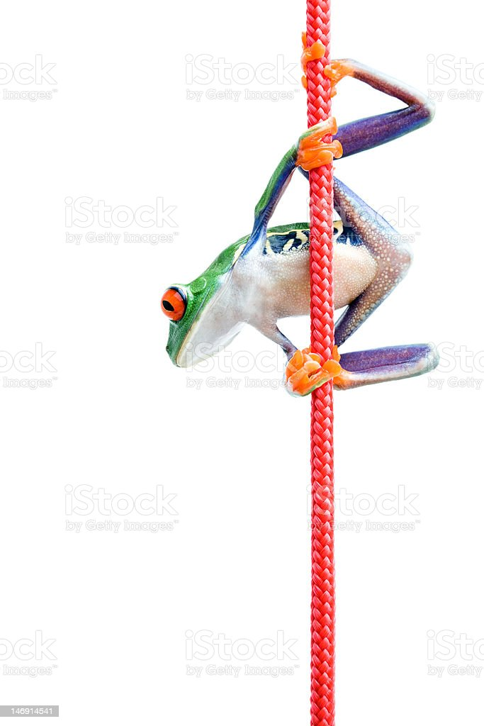 frog climbing rope isolated on white stock photo