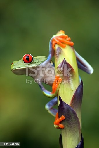 Red-Eyed Tree Frog Preparing to Jump  [url=http://www.istockphoto.com/file_search.php?action=file&lightboxID=6833833] [img]http://www.kostich.com/frogs.jpg[/img][/url]  [url=http://www.istockphoto.com/file_search.php?action=file&lightboxID=10814481] [img]http://www.kostich.com/rainforest_banner.jpg[/img][/url]