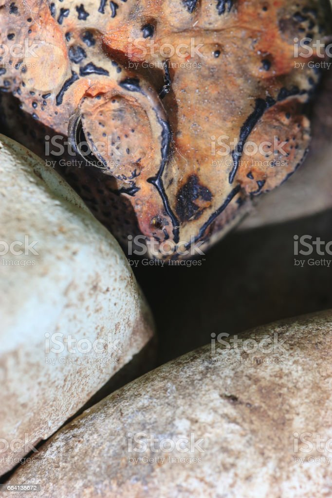 Frog close up - mimicry concept foto stock royalty-free