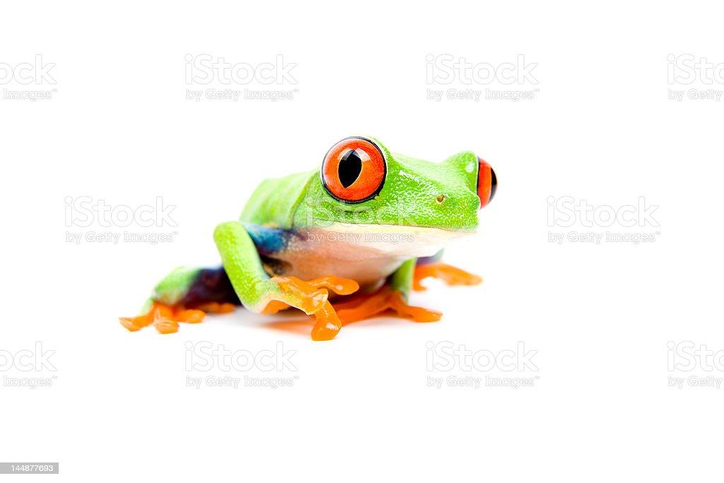 frog closeup on white royalty-free stock photo