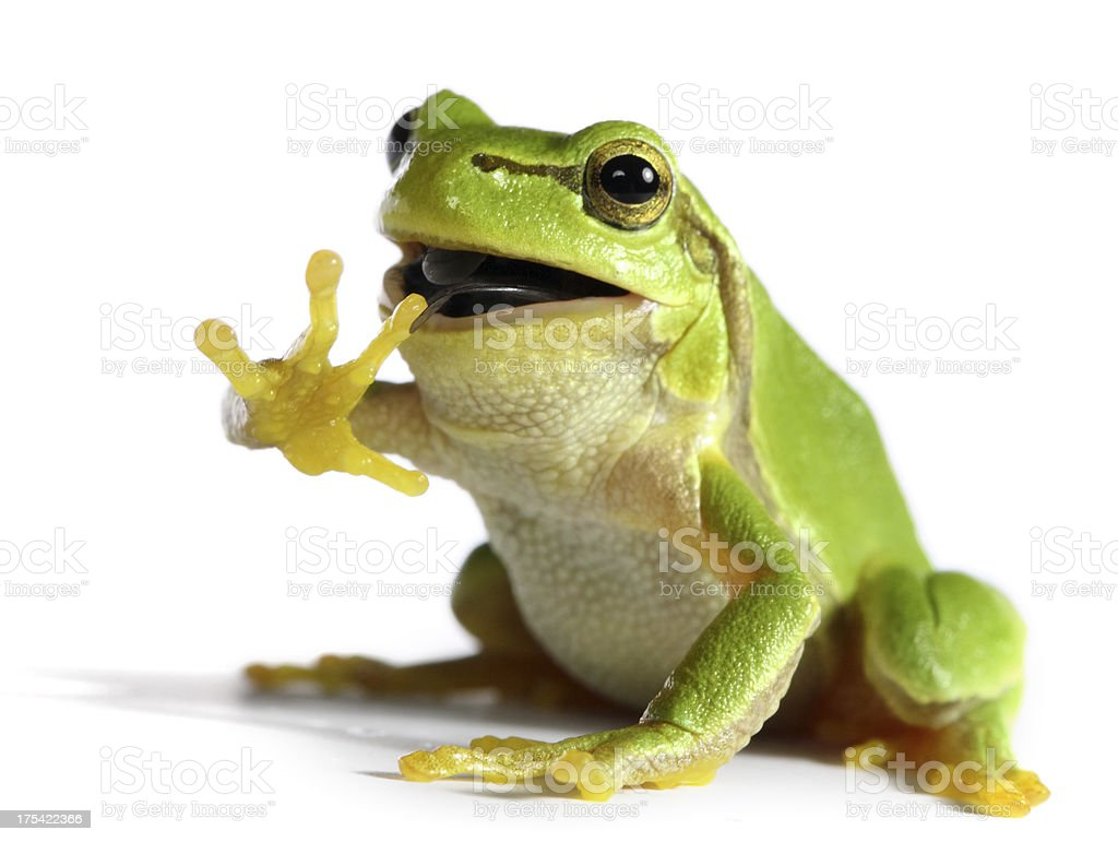 frog eating a fly stock photo