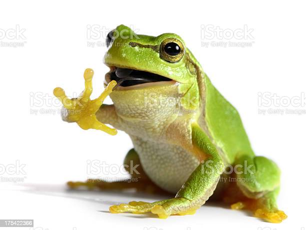 Photo of frog eating a fly