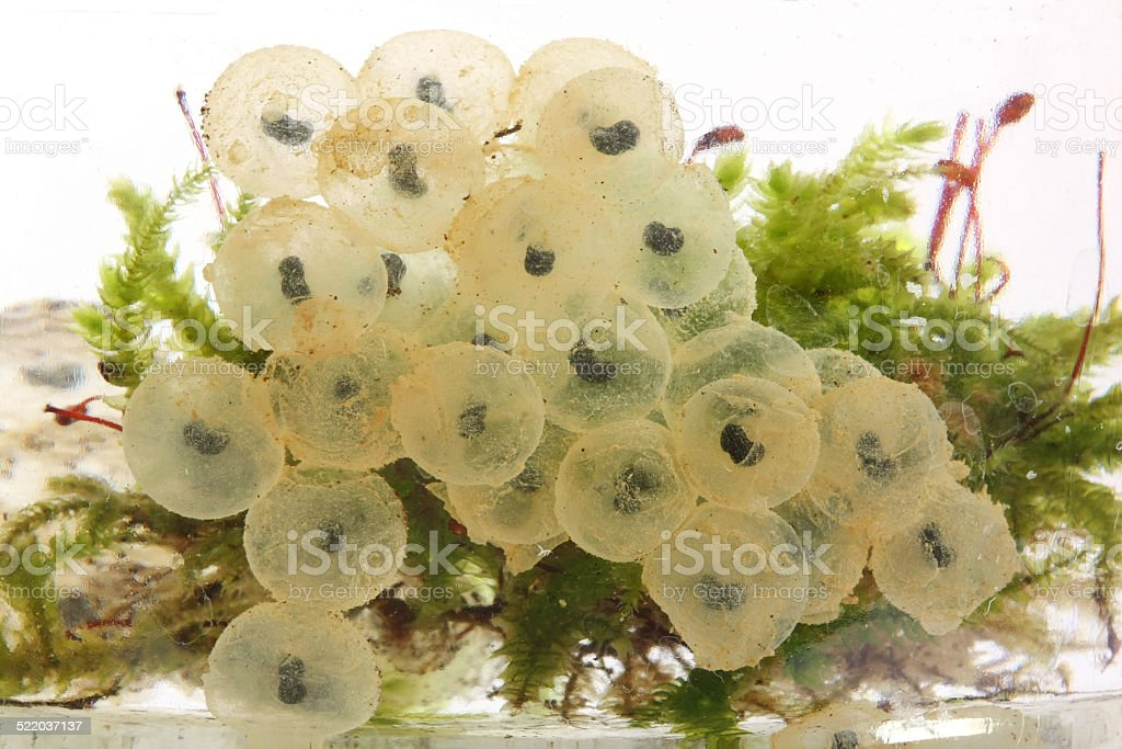 Frog eggs hatching process stock photo