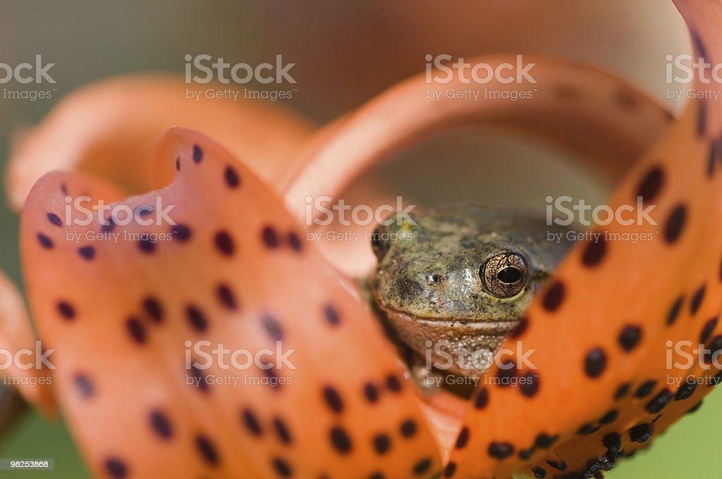 frog eye macro royalty-free stock photo