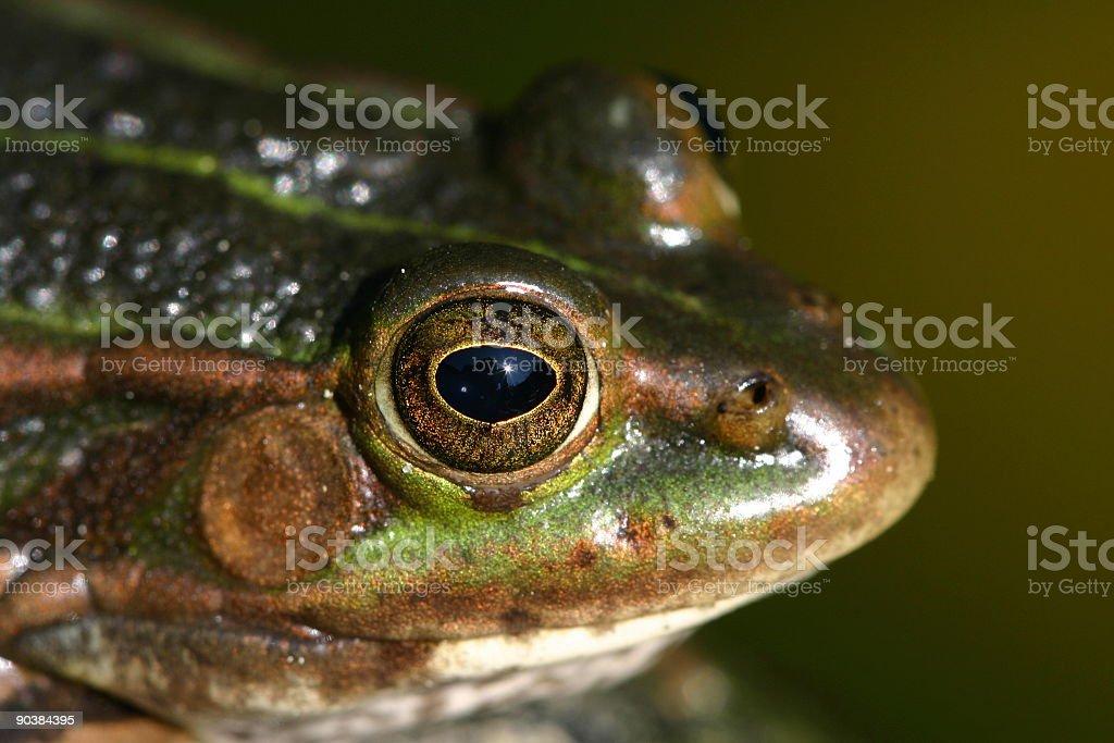 Frosch Auge – Foto