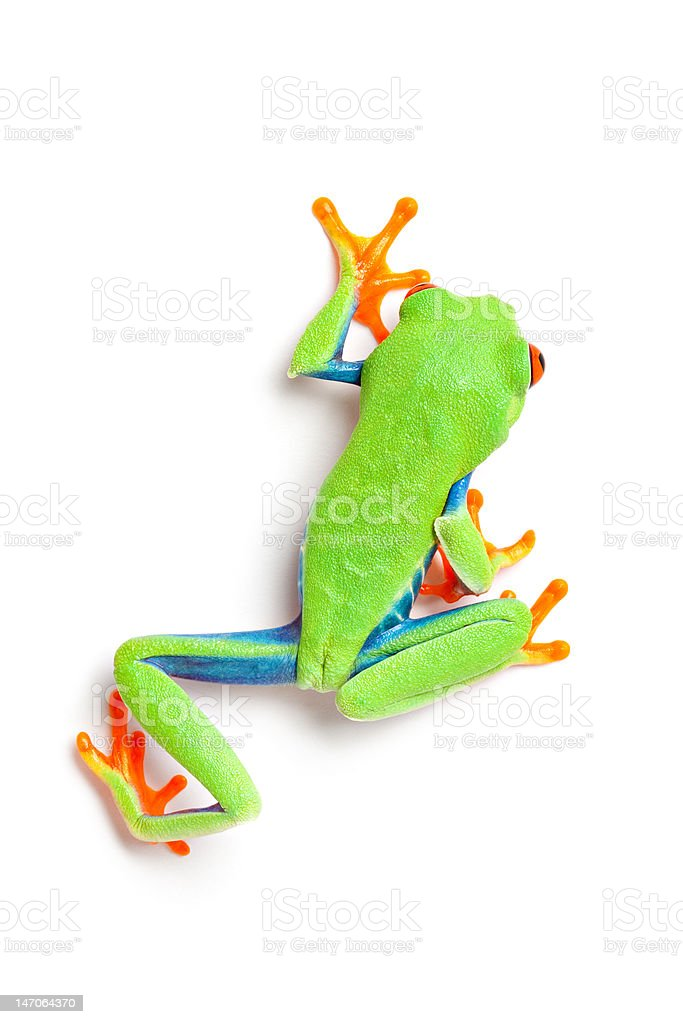 frog from above walking isolated on white stock photo