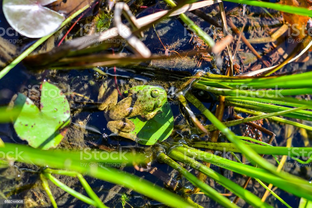 Frog from top down perspective stock photo
