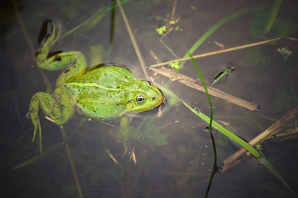 Frog, green toad in the water. stock photo