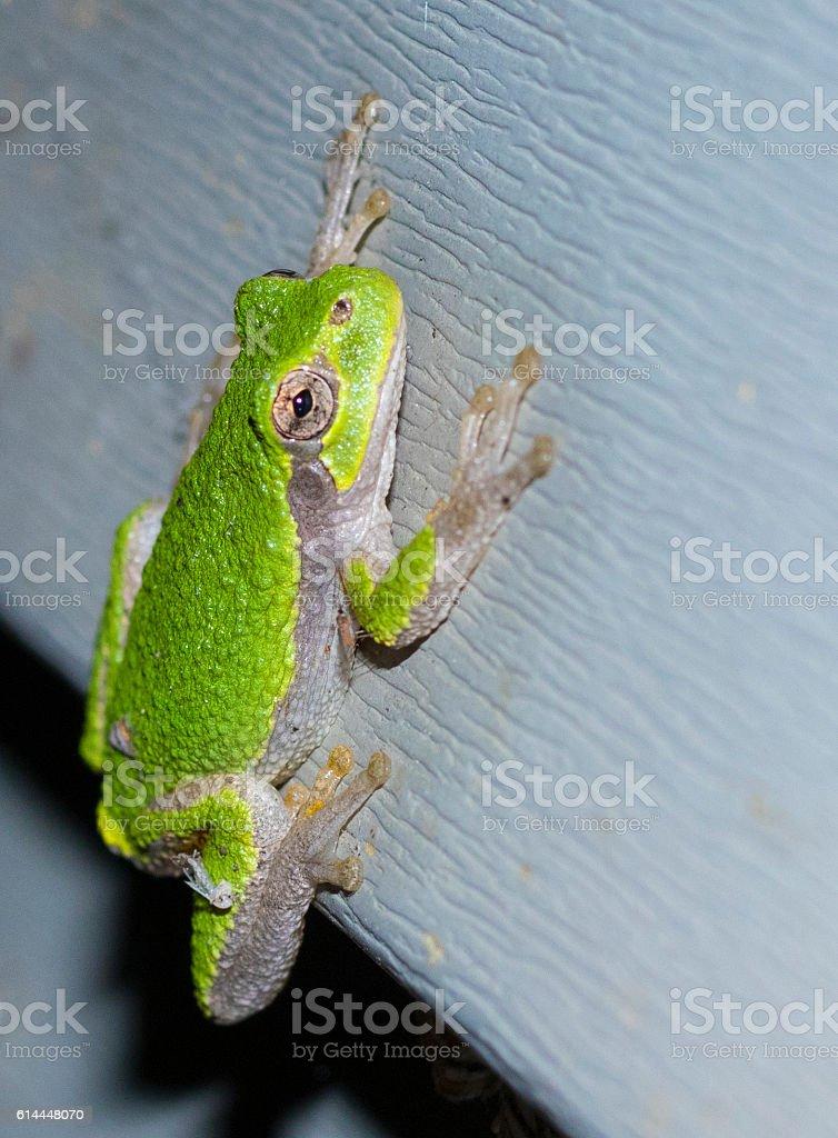 Frog hanging on house siding stock photo