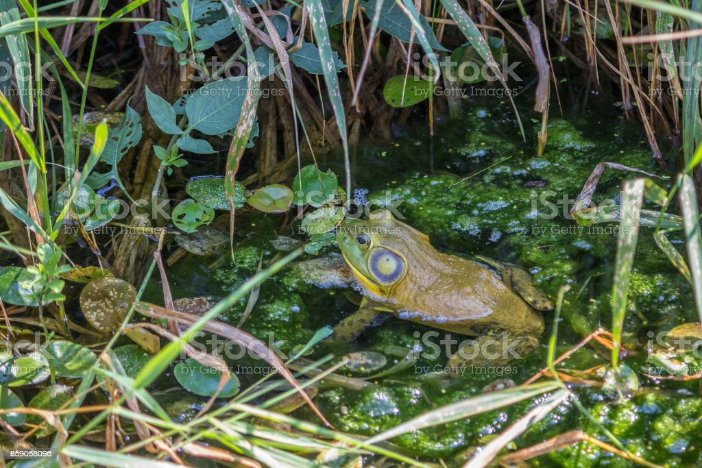Frog hidding in leafy pond stock photo