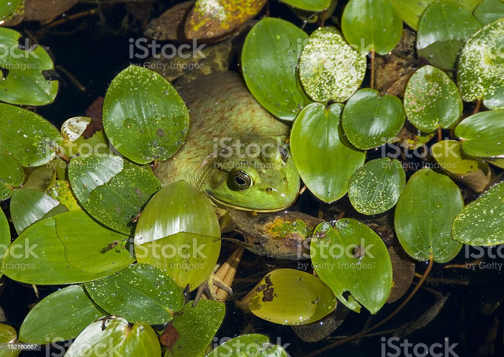 Frog hiding among leaves royalty-free stock photo