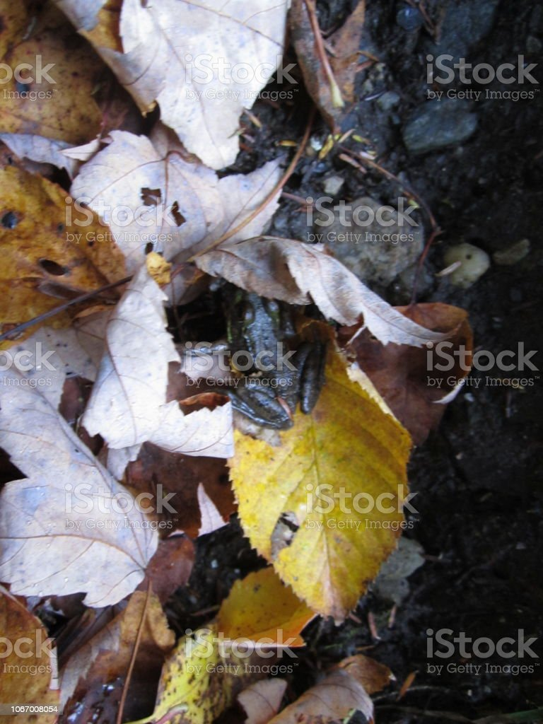 Frog Hiding in Fall Leaves stock photo